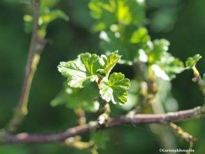 Blätter der Stachelbeere