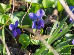 Blüten der Viola odorata