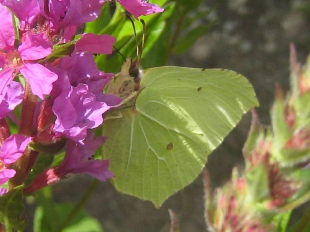 Vergleich Wildsträucher mit Exoten – Raupenfutterpflanzen für heimische Schmetterlingsarten