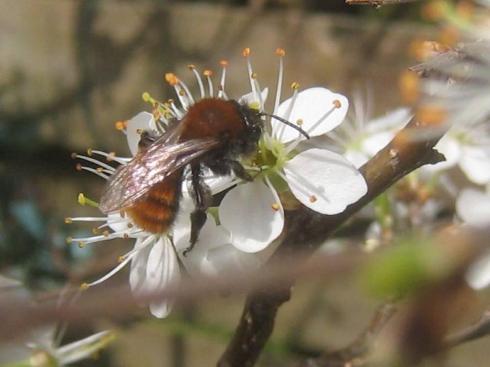 Wildbienen – wichtige Bestäuber im Frühjahr