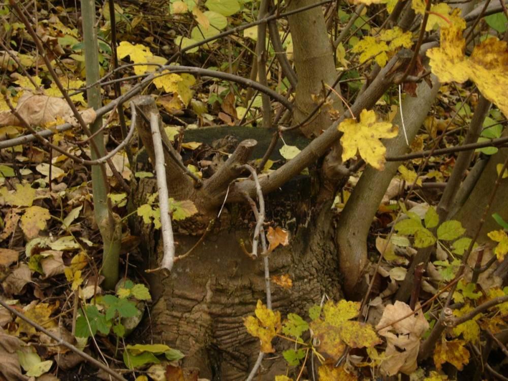 Mythos Kopfbaum als Lebensraum