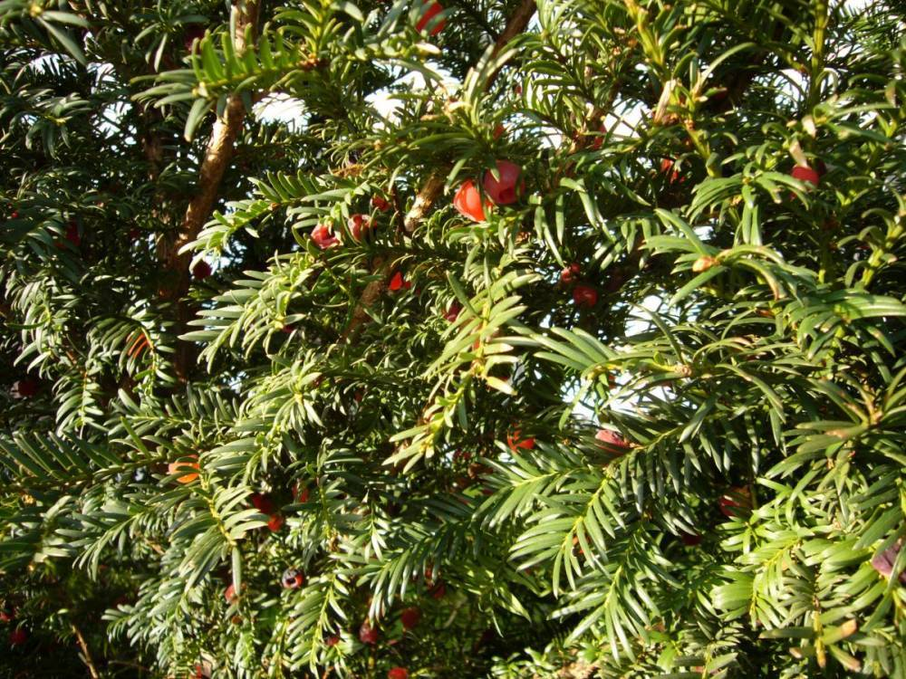 You are currently viewing Mythos Eibe – Taxus