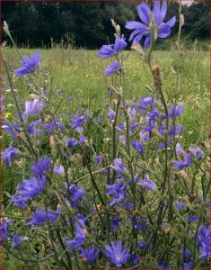 FAQ – Archäophyten, Zuwanderer vor 1492