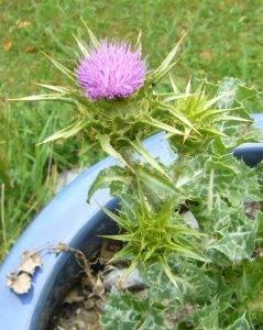 Trachtpflanzen für Wildbienen