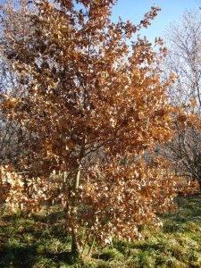 Mythos Eichen (Quercus)