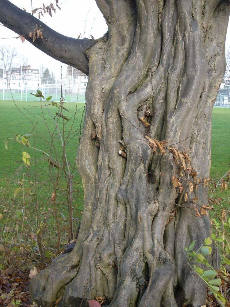Mythos Hainbuchen (Carpinus)