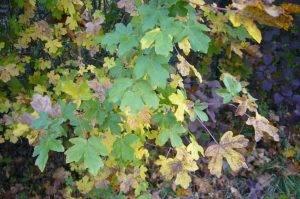 Mythos – Ahorn (Acer)