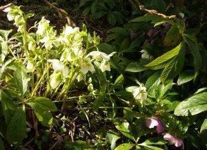 Frühling-Schätze Helleborus