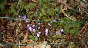 Frühling-Schätze Leberblümchen Hepatica