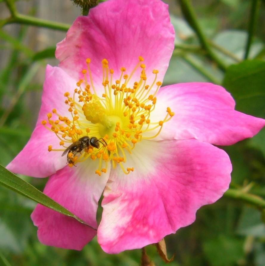 Mythos Rosen (Rosa)