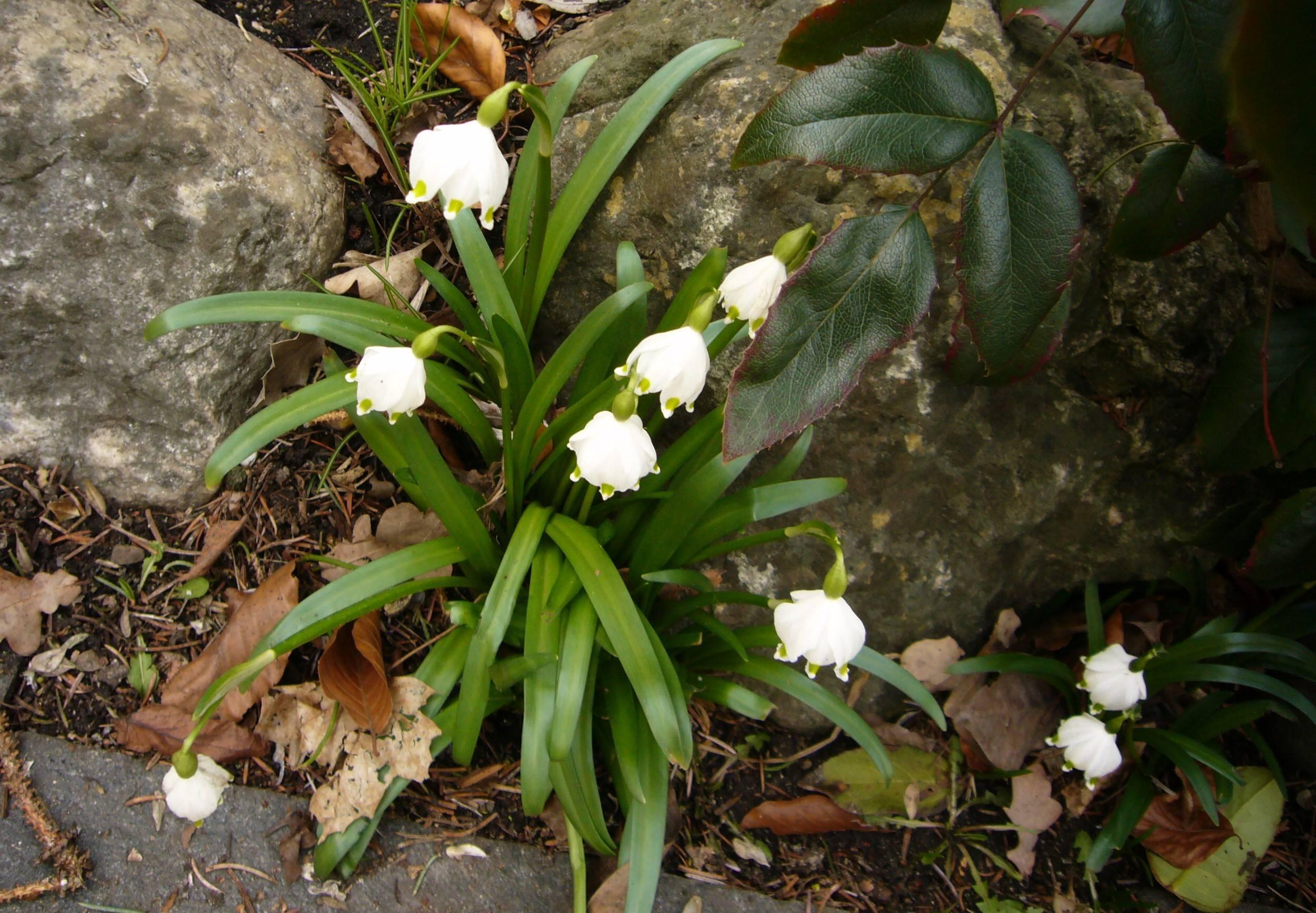 Naturschatz Knotenblumen – Leucojum