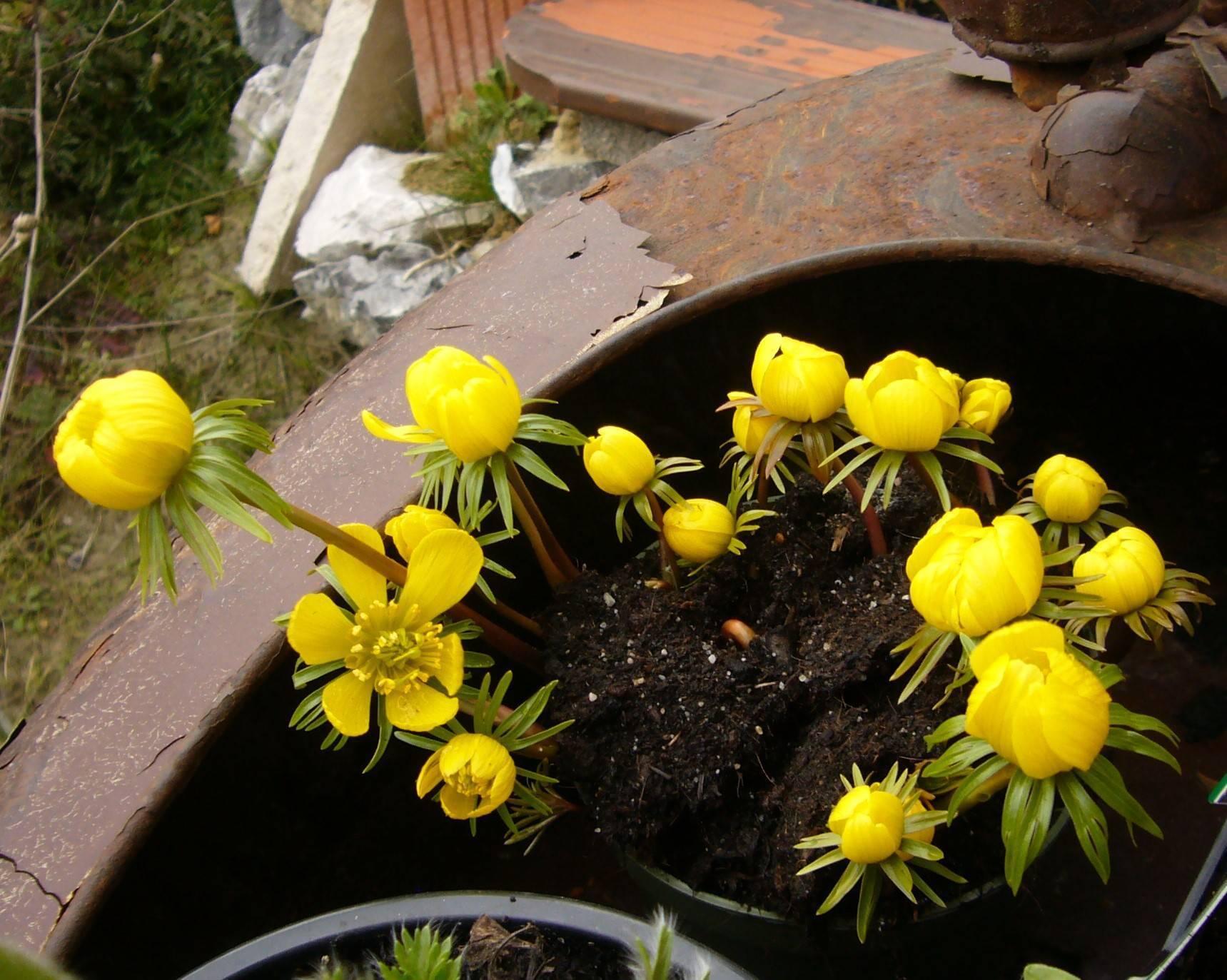 Naturschatz – Winterling (Eranthis hyemalis)