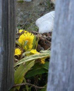 Naturschatz Huflattich – Tussilago farfara