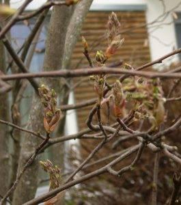 Naturschatz Gewöhnliche Felsenbirne – Amelanchier ovalis