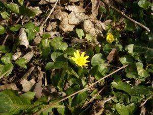 Naturschatz Scharbockskraut – Ficaria verna