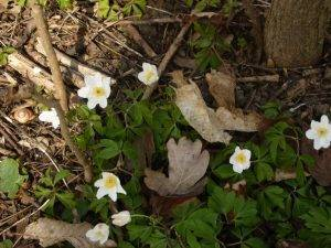 Naturschatz Buschwindröschen – Anemone nemorosa