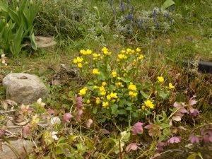 Naturschatz Sumpfdotterblume – Caltha palustris