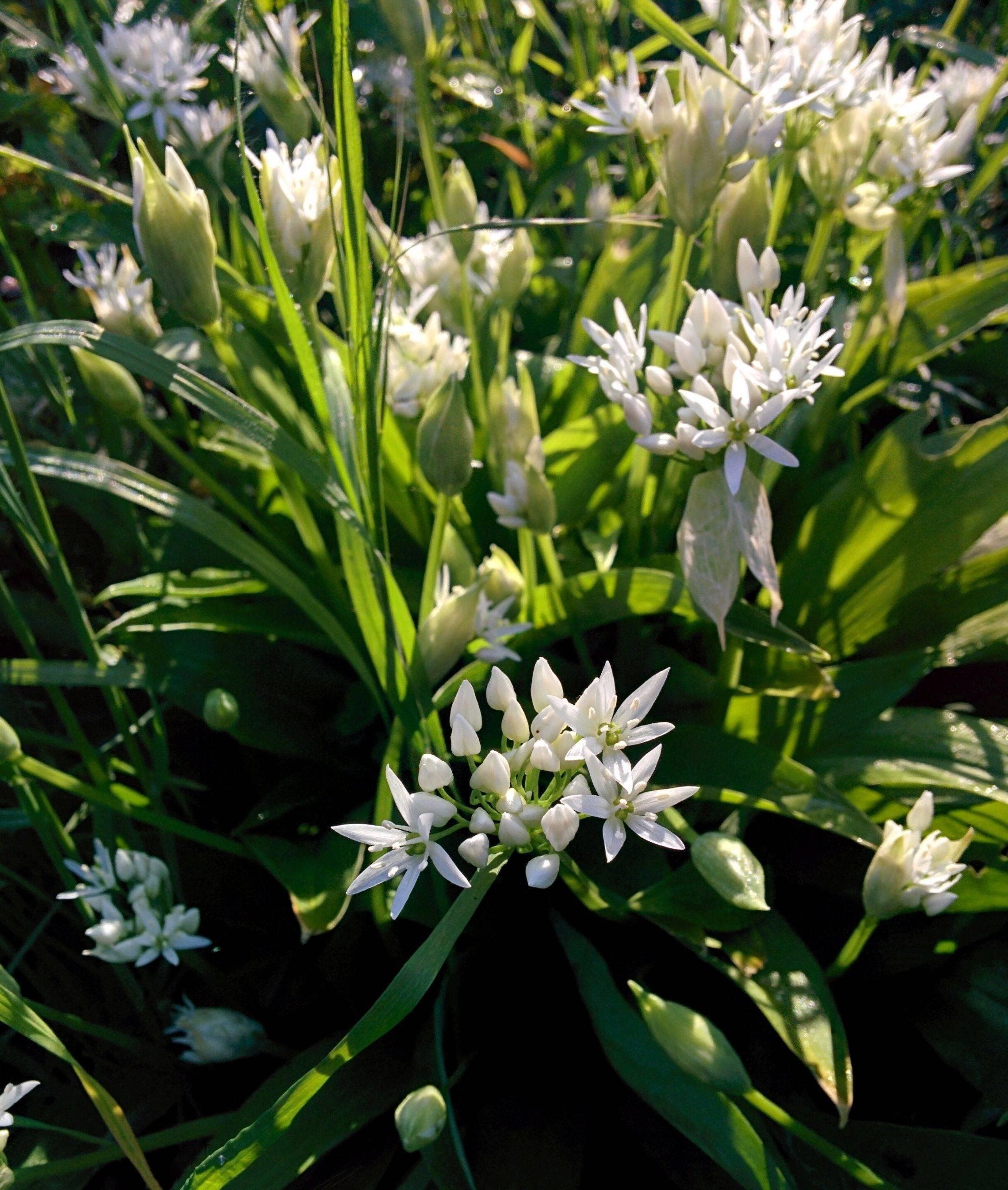 You are currently viewing Naturschatz Bärlauch – Allium ursinum