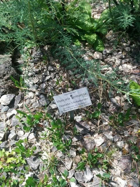 Naturschatz deutsche Tamariske – Myricaria germanica