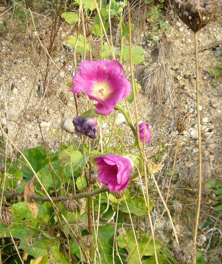 You are currently viewing Naturschatz Stockrose – Alcea