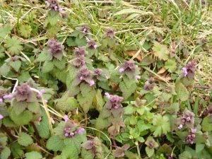 Naturschatz – Purpurrote Taubnessel (Lamium purpureum)