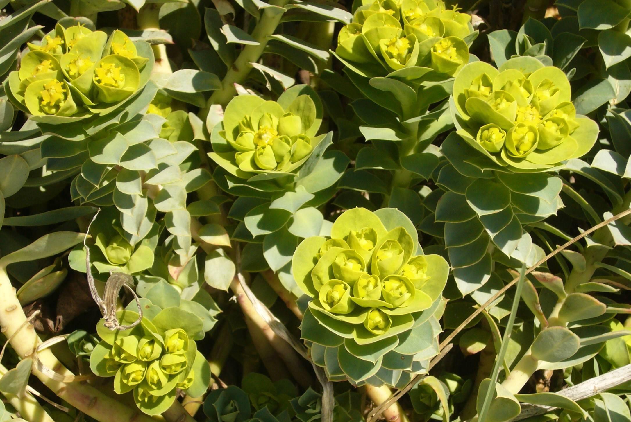Naturschatz Wolfsmilch – Euphorbia