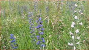 Naturschatz Gewöhnlicher Natternkopf – Echium vulgare
