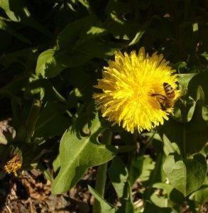 Mythos Gewöhnlicher Löwenzahn – Taraxacum officinale