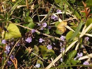 Naturschatz Gundermann – Glechoma hederacea
