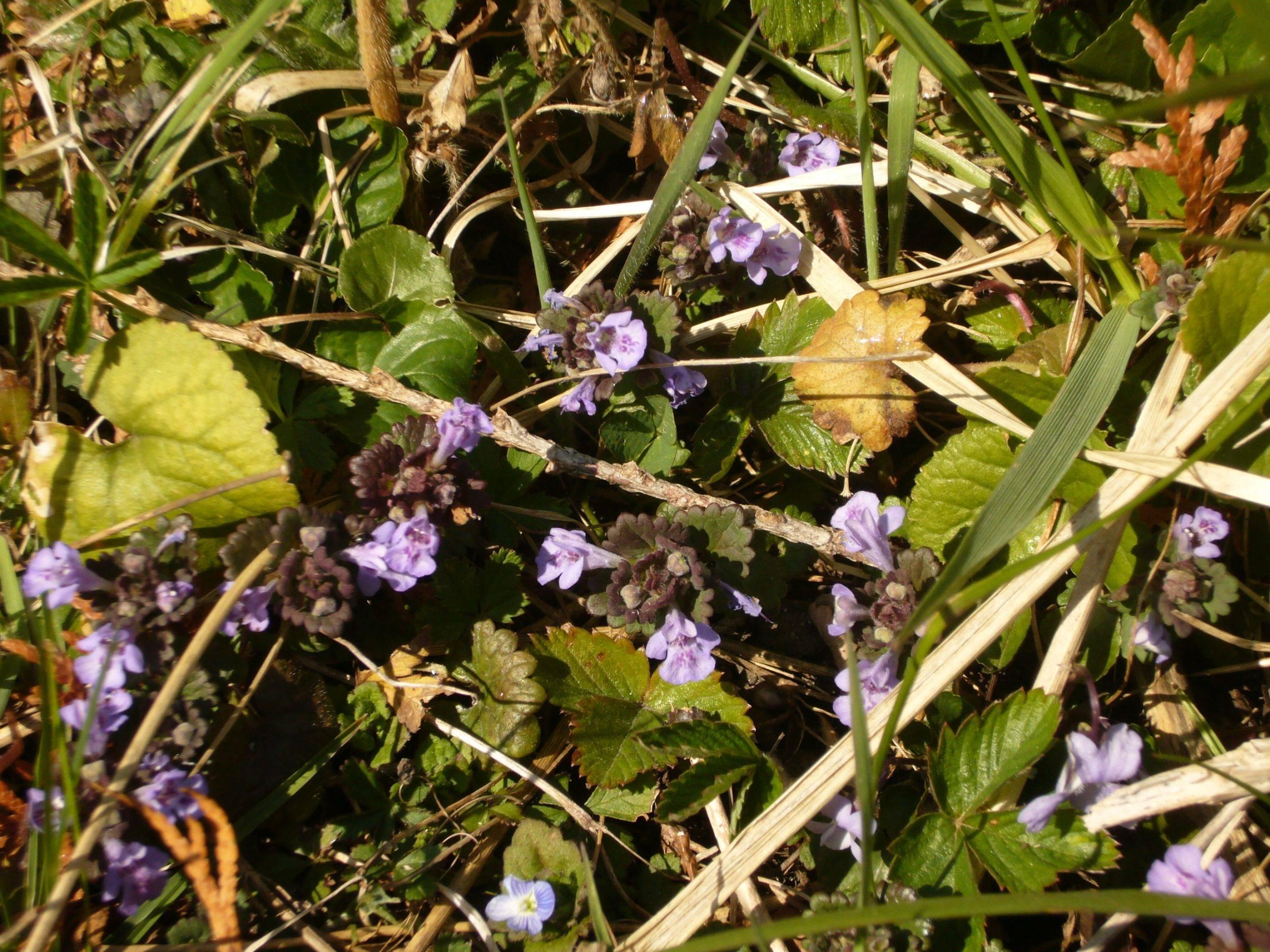 You are currently viewing Naturschatz Gundermann – Glechoma hederacea