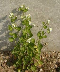 Read more about the article Naturschatz Knoblauchsrauke – Alliaria petiolata