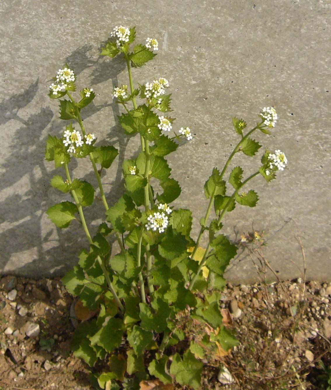Naturschatz Knoblauchsrauke – Alliaria petiolata