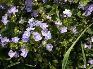 Naturschatz Gamander-Ehrenpreis – Veronica chamaedrys
