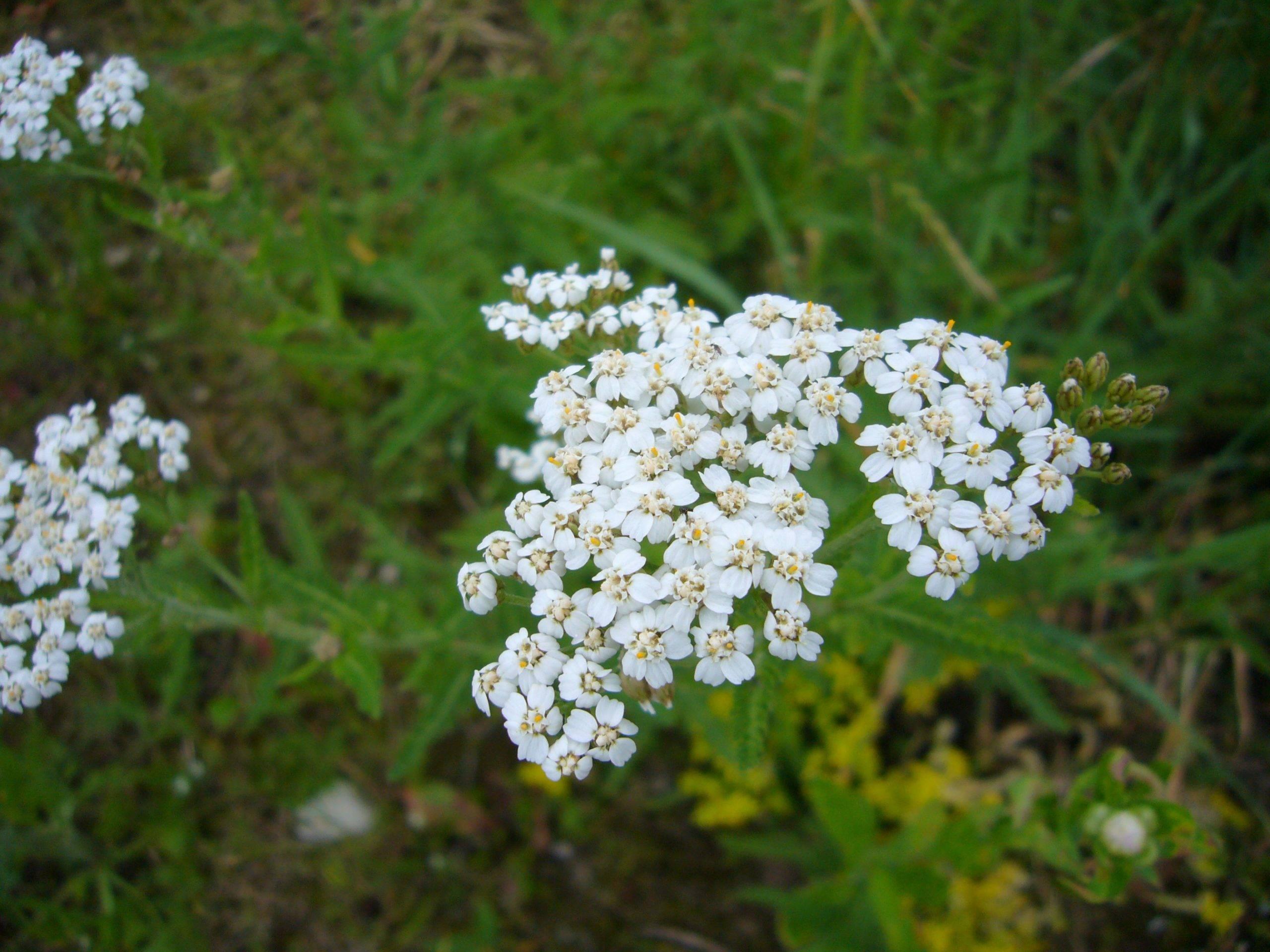 Naturschatz Schafgarben – Achillea
