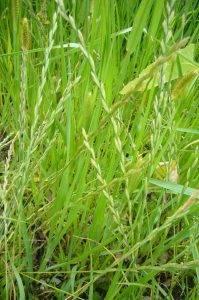 Naturschatz Kriech-Quecke – Elymus repens