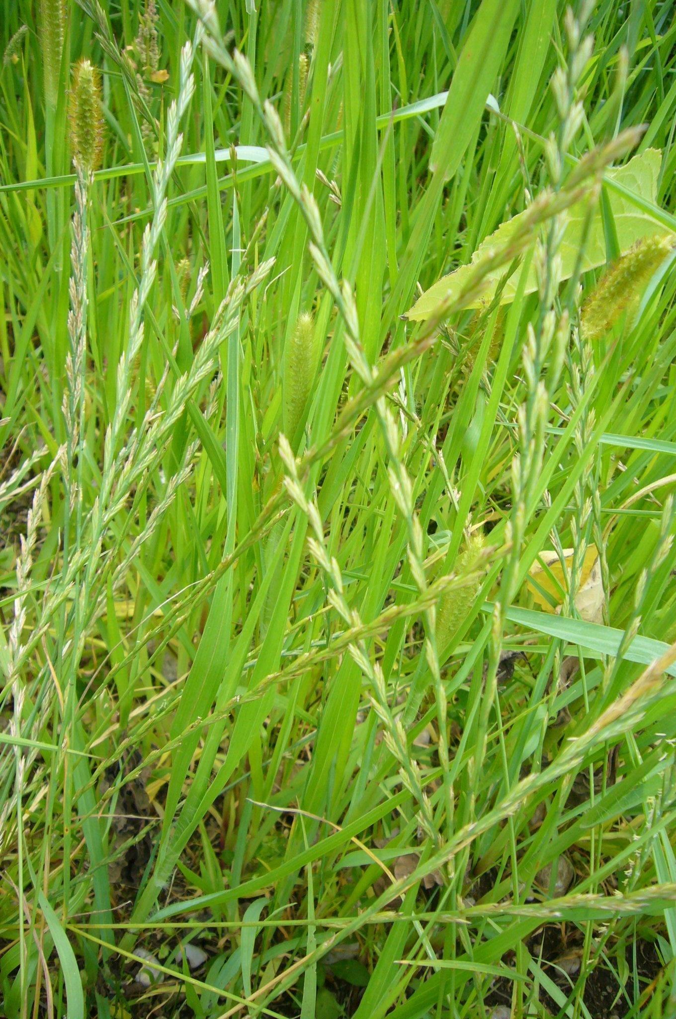 You are currently viewing Naturschatz Kriech-Quecke – Elymus repens