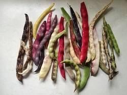 Gartenführung – Bohnenvielfalt