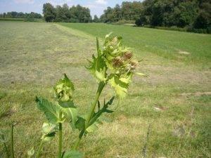 Naturschatz Kohl-Kratzdistel – Cirsium oleraceum