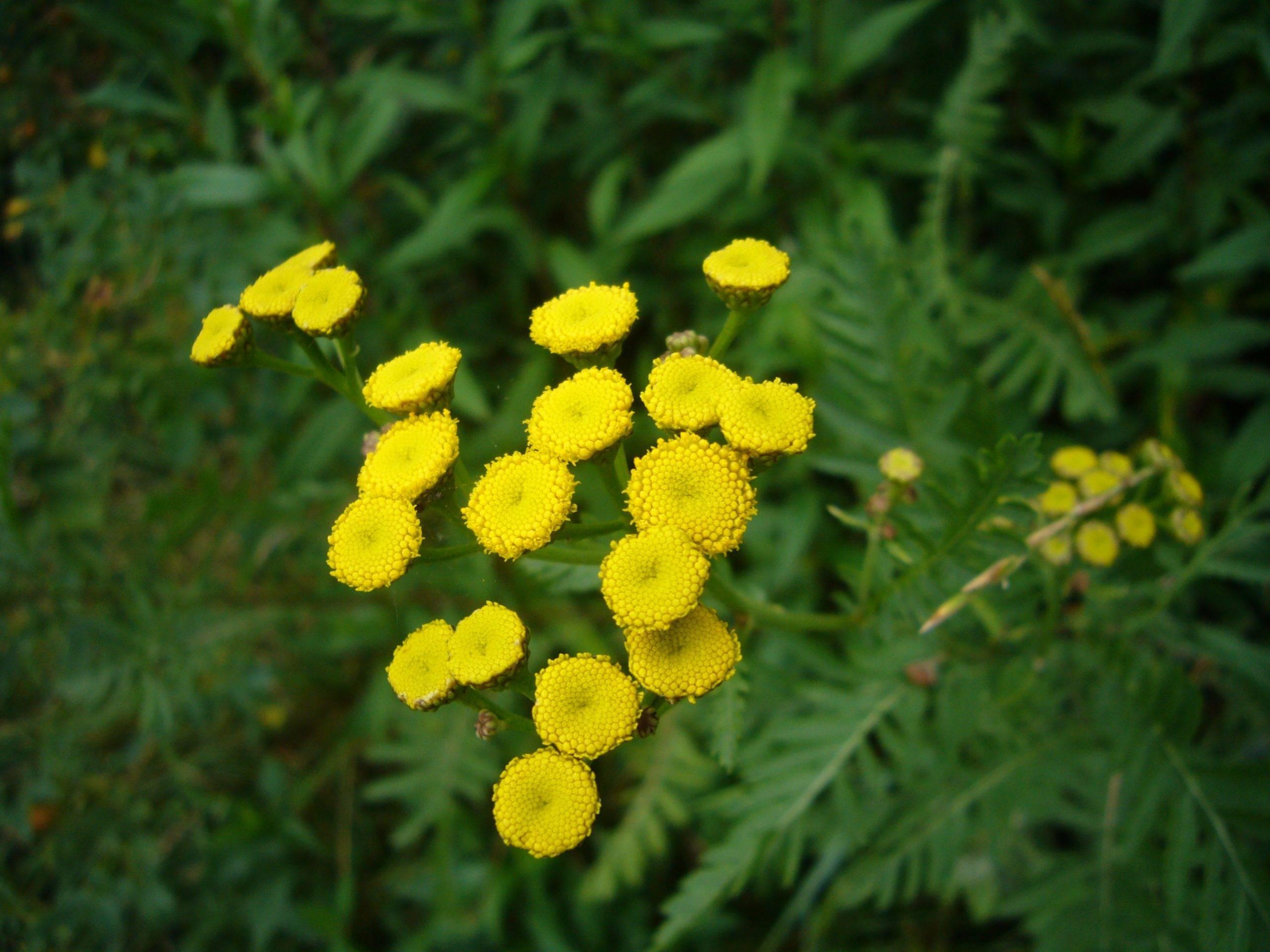You are currently viewing Naturschatz Rainfarn – Tanacetum vulgare L., Synonym Chrysanthemum vulgare
