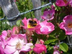 Gartenhummel – Bombus hortorum