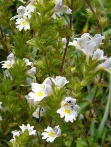 Naturschatz Gemeiner Augentrost – Euphrasia officinalis