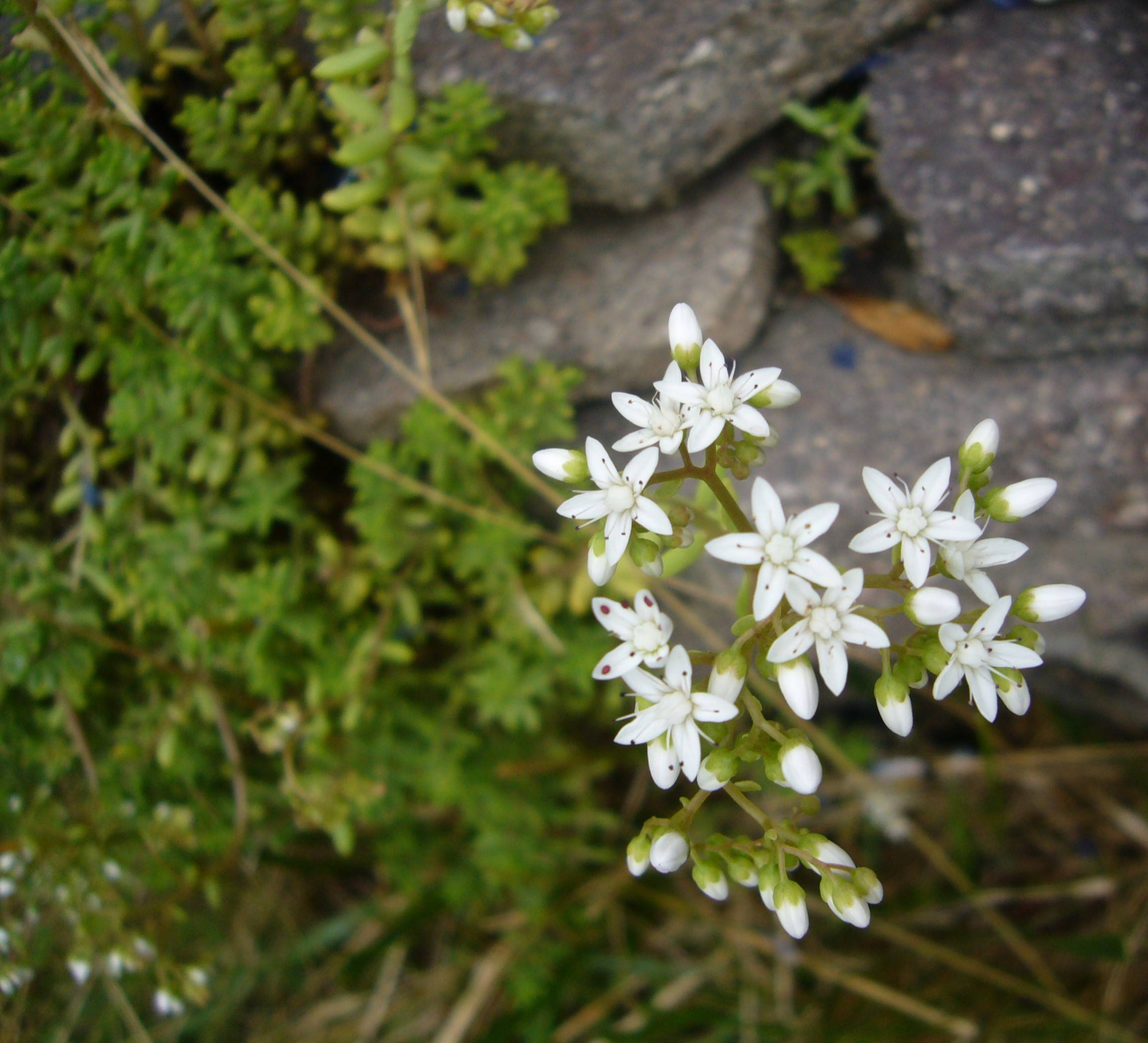 You are currently viewing Mauerpfeffer – Sedum