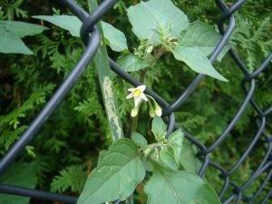 Schwarzer Nachtschatten – Solanum nigrum