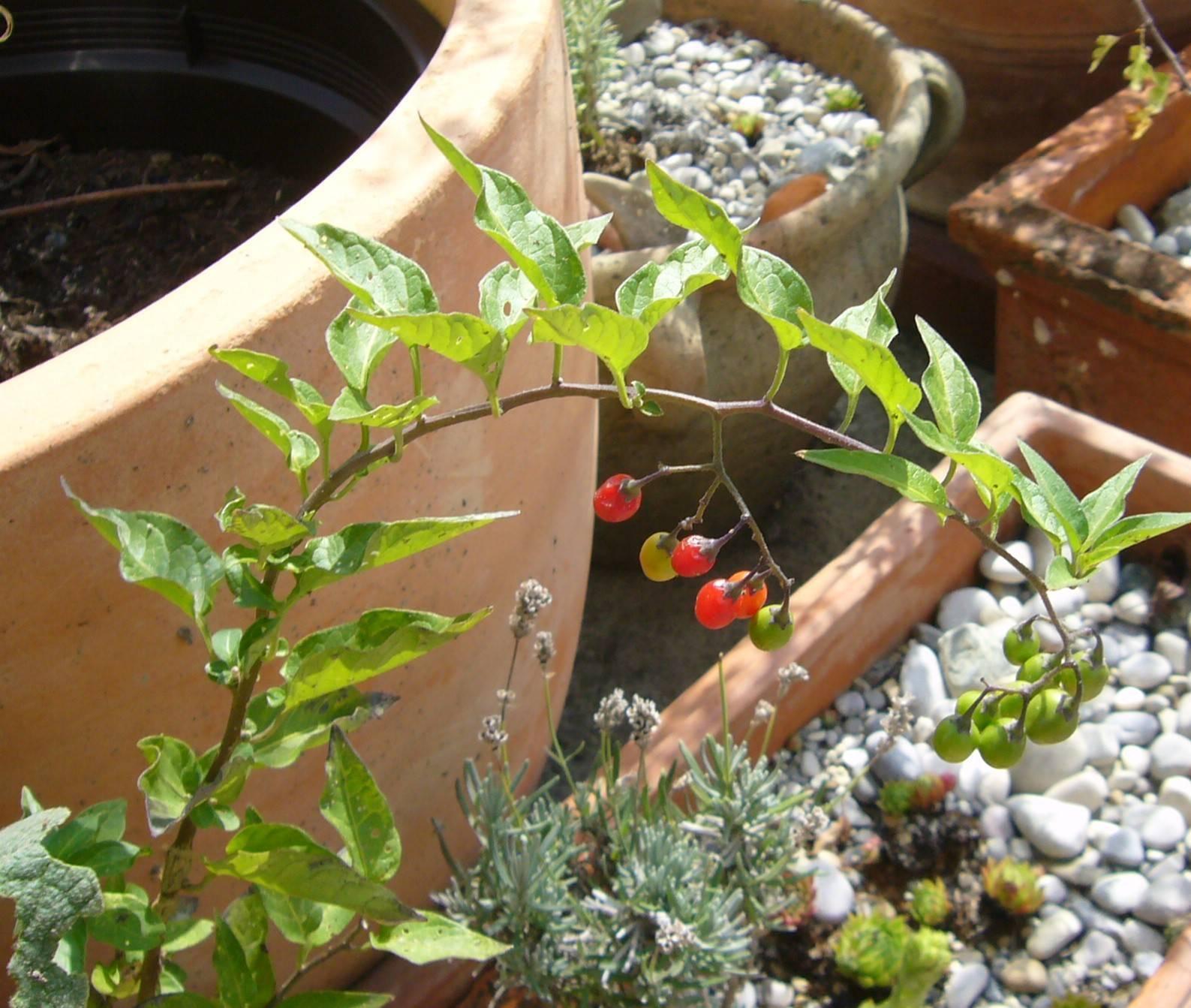 You are currently viewing Bittersüßer Nachtschatten – Solanum dulcamara