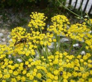 Haus-Feldwespe – Polistes dominula
