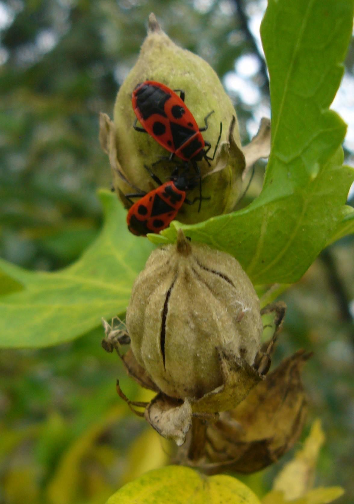Gemeine Feuerwanze – Pyrrhocoris apterus