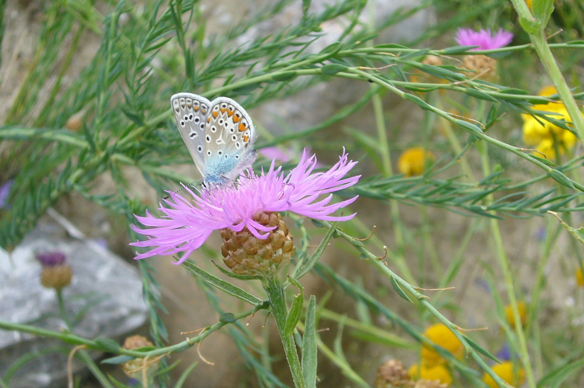 You are currently viewing Hauhechel-Bläuling – Polyommatus icarus