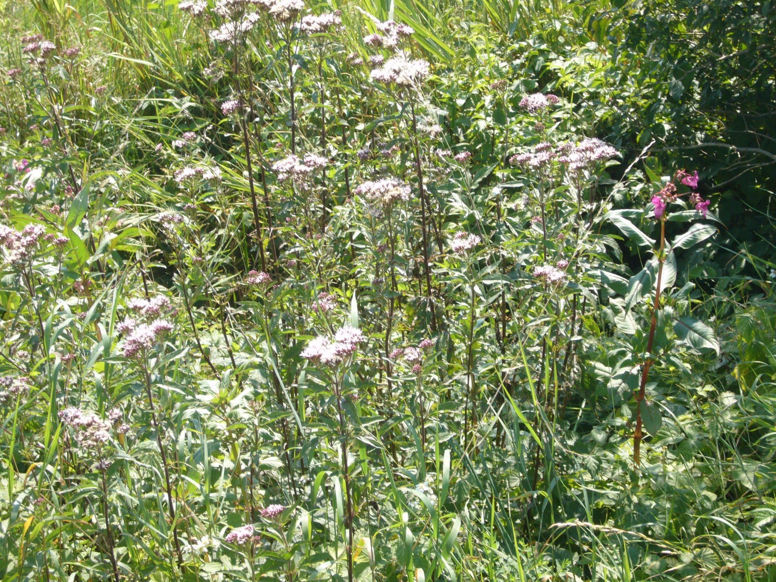 Gewöhnlicher Wasserdost – Eupatorium cannabinum