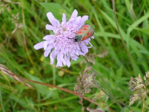 Read more about the article Beilfleck-Rotwidderchen – Zygaena loti