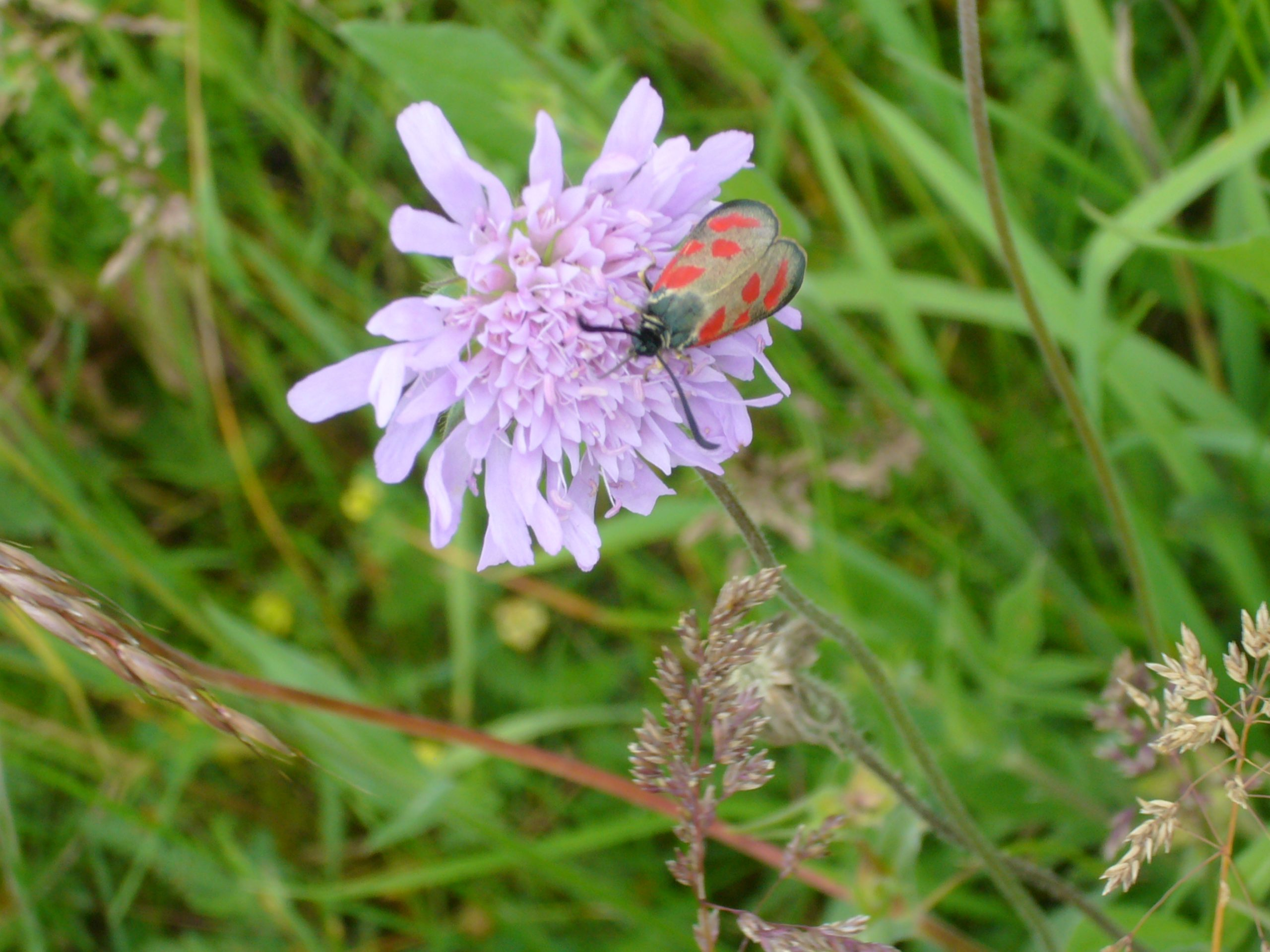 You are currently viewing Beilfleck-Rotwidderchen – Zygaena loti